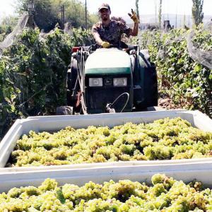 tractor-grapes-oscar