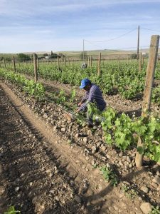 flores ag services vineyard worker