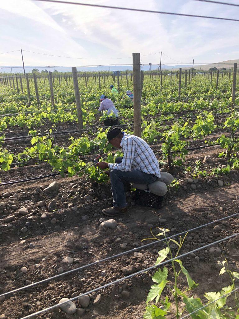 trellis-vineyard-contractor-workers